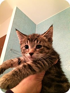 Domestic Shorthair Kitten for adoption in Chicago, Illinois - Charlie
