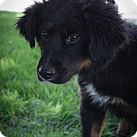 Adopt A Pet :: Freedom - Broomfield, CO