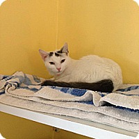 Adopt A Pet :: Snowy - Lancaster, MA