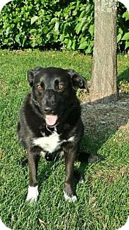 Border Collie/Labrador Retriever Mix Dog for adoption in Madison, Wisconsin - Boone
