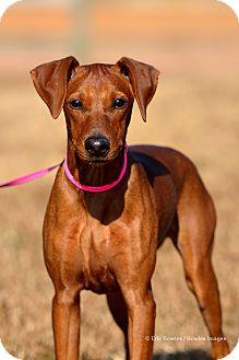 German Pinscher Puppy for adoption in Dacula, Georgia - Roxy