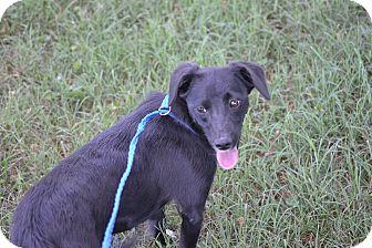 Beagle/Labrador Retriever Mix Dog for adoption in Wilminton, Delaware - Midnight