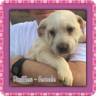 Shar Pei Mix Puppy for adoption in Hagerstown, Maryland - Ruffles