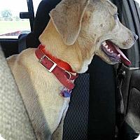Blue Lacy/Texas Lacy/Labrador Retriever Mix Dog for adoption in Disney, Oklahoma - Annie