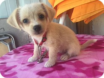 Terrier (Unknown Type, Medium)/Chihuahua Mix Puppy for adoption in Elk Grove, California - Kilani