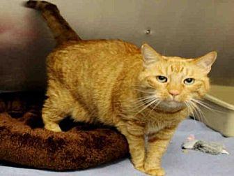 Domestic Mediumhair Cat for adoption in Hampton Bays, New York - NEWT