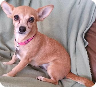 Chihuahua/Toy Fox Terrier Mix Dog for adoption in Phoenix, Arizona - Lola