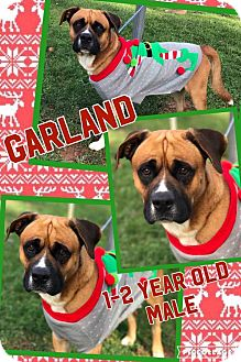 Boxer Mix Dog for adoption in Lexington, North Carolina - Garland
