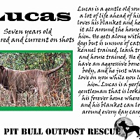 American Pit Bull Terrier/Mixed Breed (Large) Mix Dog for adoption in Lafayette, Oregon - Lucas