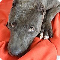 Adopt A Pet :: Maddox - Aurora, CO