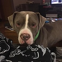 Pit Bull Terrier Mix Dog for adoption in Crown Point, Indiana - Zeke