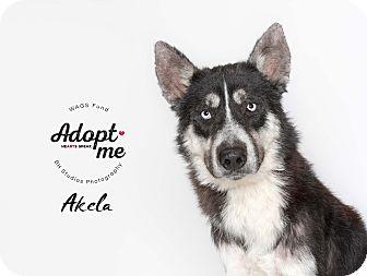 Adopt A Pet :: Akela  - Houston, TX