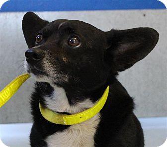 Chihuahua/Corgi Mix Dog for adoption in Fairfax Station, Virginia - Finn