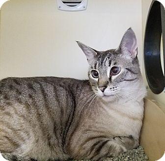 Siamese Cat for adoption in Elyria, Ohio - Tina