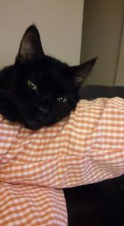 Domestic Shorthair/Domestic Shorthair Mix Cat for adoption in Des Moines, Iowa - Piper