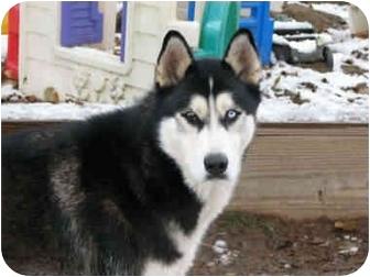 Siberian Husky Dog for adoption in Belleville, Michigan - Brutus