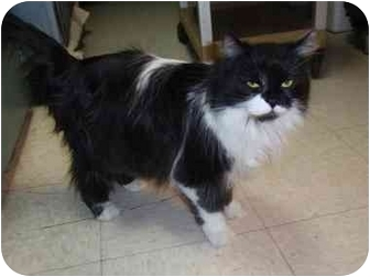 Domestic Longhair Cat for adoption in Houghton, Michigan - Heather