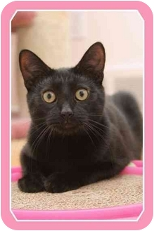 Domestic Shorthair Cat for adoption in Sterling Heights, Michigan - Onyx - ADOPTED!