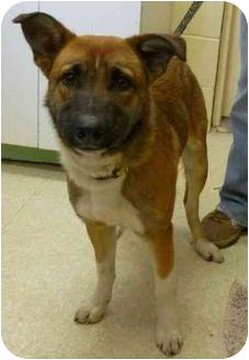 Shepherd (Unknown Type)/Australian Shepherd Mix Dog for adoption in Jerome, Idaho - 4437