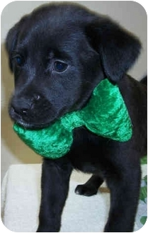 Labrador Retriever Mix Puppy for adoption in Struthers, Ohio - Obsidian