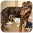 Photo 2 - Doberman Pinscher Puppy for adoption in Las Vegas, Nevada - Little Stevie