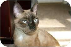 Siamese Cat for adoption in Arlington, Virginia - Sammy