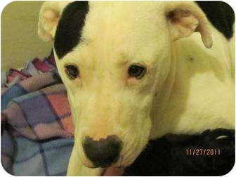 Pit Bull Terrier Mix Dog for adoption in Oak Lawn, Illinois - Penelope