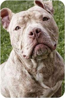 Pit Bull Terrier Dog for adoption in Oak Creek, Wisconsin - Teddy