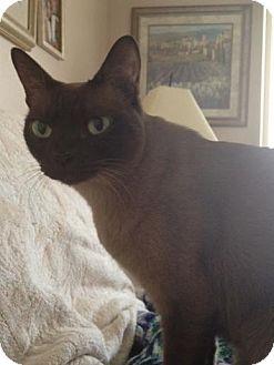 Tonkinese Cat for adoption in Daytona Beach, Florida - Bree