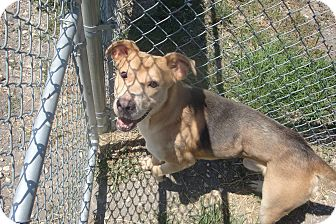 Shepherd (Unknown Type) Mix Dog for adoption in Kirby, Texas - Robbie