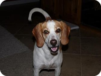 Beagle Mix Dog for adoption in Phoenix, Arizona - Crackers