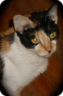 Calico Cat for adoption in Newtown, Connecticut - Milkyway