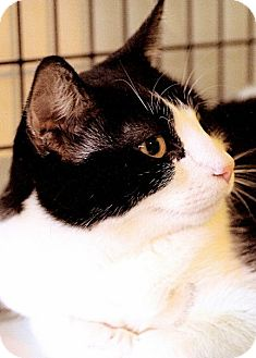 American Shorthair Cat for adoption in Victor, New York - Tex