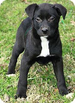 Border Collie/Labrador Retriever Mix Puppy for adoption in Staunton, Virginia - Abigale