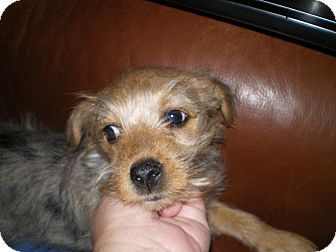 Yorkie, Yorkshire Terrier/Terrier (Unknown Type, Small) Mix Puppy for adoption in Apex, North Carolina - Charlotte