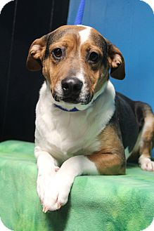 Beagle/Boxer Mix Dog for adoption in Greenville, Virginia - Rogue