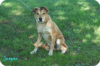 Labrador Retriever/Shepherd (Unknown Type) Mix Dog for adoption in Salamanca, New York - Jaegar