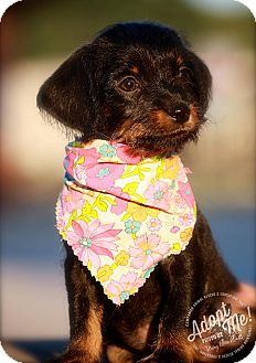 Dachshund/Terrier (Unknown Type, Small) Mix Puppy for adoption in Albany, New York - Heidi