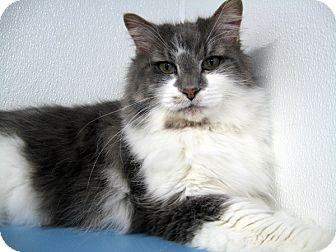 Domestic Longhair Cat for adoption in Republic, Washington - Spirit