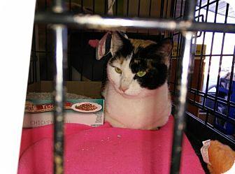 Domestic Shorthair Cat for adoption in Avon, Ohio - Dodie