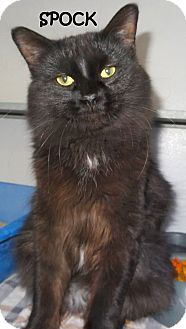 Domestic Longhair Cat for adoption in Lapeer, Michigan - SPOCK--FUZZY FURBALL!!
