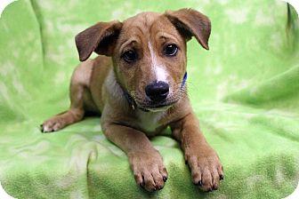 Golden Retriever/Shepherd (Unknown Type) Mix Puppy for adoption in Westminster, Colorado - Hierberto