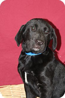 Labrador Retriever/Chow Chow Mix Puppy for adoption in Waldorf, Maryland - Bubba