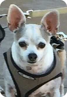 Chihuahua Dog for adoption in San Diego, California - Fergie