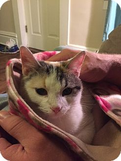 Calico Cat for adoption in Huntley, Illinois - Vivian