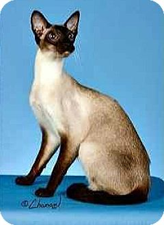 Siamese Cat for adoption in Riverview, Florida - Morgan