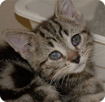 American Shorthair Kitten for adoption in Denver, North Carolina - Callisto