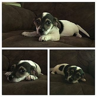Chihuahua Mix Puppy for adoption in Ellaville, Georgia - Peanut