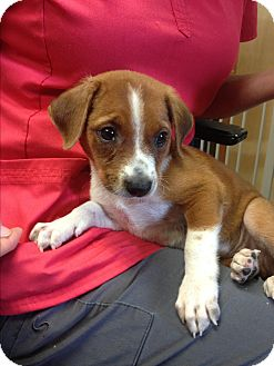 Border Collie/Border Terrier Mix Puppy for adoption in whiting, New Jersey - Ginger