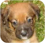Boxer Mix Puppy for adoption in W. Columbia, South Carolina - Annie